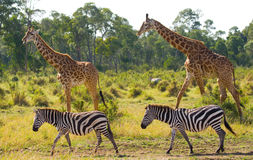 Zwei Giraffen in der Savanne mit Zebras kenia tanzania März 2009 Lizenzfreies Stockfoto