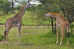 Zwei Giraffen, die auf Bäumen, Tanzania durchstöbern. Lizenzfreie Stockfotos