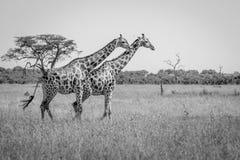 Zwei Giraffen, die in das Gras gehen stockbilder