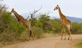 Zwei Giraffen, die eine Straße in der Hluhluwe-/Imfolozispiel-Reserve in Kwazulu Natal, Südafrika kreuzen stockfoto