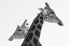 Zwei Giraffen, die nahe einander Schwarzweiss stehen lizenzfreie stockbilder