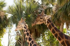 Zwei Giraffen, die nahe einander vor Bäumen stehen Stockbild
