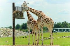 Zwei Giraffen, die Nahrung von einem erhöhten Korb essen stockfoto
