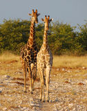 Zwei Giraffen in Etosha Lizenzfreie Stockbilder