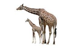 Zwei Giraffen getrennt auf Weiß Stockfotos