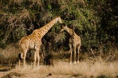 Zwei Giraffen im ruhigen Gespräch Lizenzfreie Stockfotografie