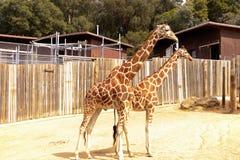 Zwei Giraffen am Zoo stockbilder