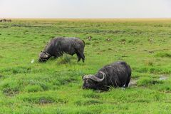 Zwei Gnugnus, die auf Nationalparkmasai Mara von Kenia stillstehen stockfoto