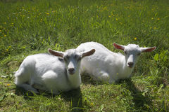 Zwei goatlings, die im Gras liegen Stockbilder