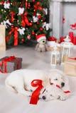 Zwei golden retriever-Welpen nähern sich Weihnachtsbaum mit Geschenken Stockfotografie