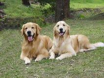 Zwei goldene Apportierhunde Lizenzfreies Stockbild