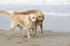 Zwei goldene Apportierhunde lizenzfreie stockbilder
