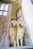 Zwei goldene Apportierhunde Stockbilder
