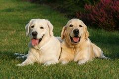 Zwei goldene Apportierhunde Stockfoto