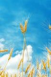 Zwei goldene Stämme unter blauem Himmel Stockfotografie
