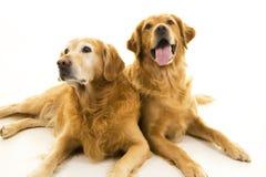 Zwei goldener Apportierhund-Hunde Lizenzfreie Stockfotografie