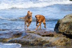 Zwei goldener Apportierhund-Hunde, die auf Strand-Felsen laufen Stockbild