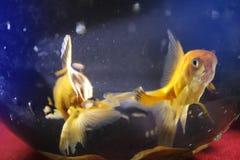 Zwei Goldfische unscharfer Hintergrund stockfotos