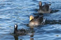 Zwei gooses in einem Wasser mit einem Vogel Lizenzfreies Stockbild