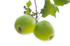 Zwei grüne Äpfel auf einem Zweig Stockfotos