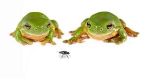 Zwei grüne Baumfrösche und eine Fliege stockfotografie