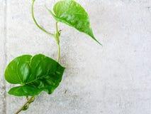 Zwei grüne Blätter auf der Betonmauer mit rechtem Kopienraum Das Blattaussehung wie grünes Herz Lizenzfreie Stockbilder