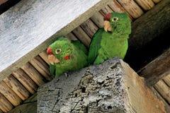 Zwei grüne lorikeet Papageienvögel, die unter einem Hausdach, Orosi-Tal, Costa Rica sitzen stockbild