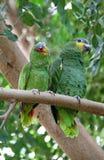 Zwei grüne Papageien Lizenzfreies Stockbild