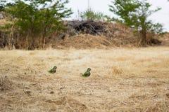 Zwei grüne Papageien stockbilder