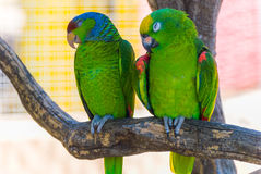 Zwei grüne Papageien Stockfotos