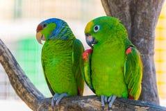Zwei grüne Papageien Lizenzfreies Stockfoto