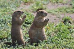 Zwei Graslandhunde Lizenzfreie Stockfotos