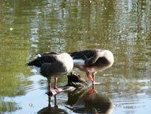 Zwei graue Gänse auf einem Teich am Tierpark von Sainte Croix in Mosel stockfotografie