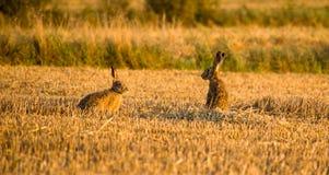 Zwei graue Hasen, die auf Feld sprechen stockbilder