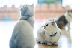 Zwei graue Katzen sitzen zusammen gleichgültig anstarren lizenzfreies stockfoto