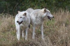 Zwei graue Wölfe Lizenzfreies Stockbild