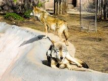 Zwei graue Wölfe am Zoo lizenzfreies stockbild