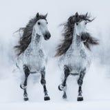 Zwei grauer lang-maned andalusischer Pferdelaufgalopp über Feld Stockbild