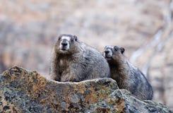 Zwei grauhaarige Murmeltiere auf Felsen Stockfotografie