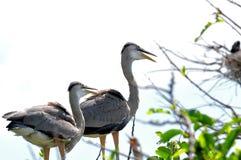 Zwei Graureiher im Nest Stockfotografie