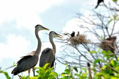 Zwei Graureiher im Nest im Sumpfgebiet Lizenzfreie Stockfotos