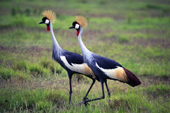 Zwei Grey Crowned Crane in Nationalpark Amboseli Stockbild