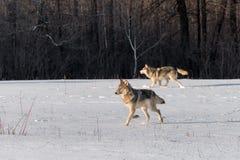 Zwei Grey Wolves Canis Lupus Trab gelassen auf Snowy-Gebiet stockfoto