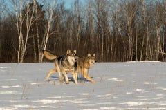 Zwei Grey Wolves Canis Lupus Trab zusammen im Feld-Winter stockfotos