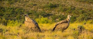 Zwei Griffon Vultures, das ihren Rückseiten gibt stockfoto