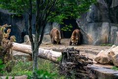 Zwei Grizzlybären, die von einer Höhle auftauchen lizenzfreie stockfotografie