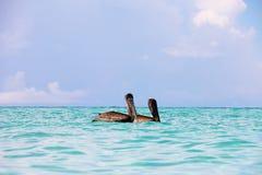 Zwei große braune Pelikane schwimmen entlang dem Blau, Türkiswasser des karibischen Meeres Saftiger Meerblick des Sommers Stockfotos