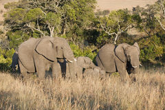 Zwei große Elefanten mit calfs Lizenzfreie Stockfotografie