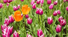 Zwei große gelb-orangee Tulpen auf Hintergrund von vielen kleines Rosa tu stockbild