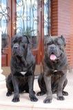Zwei große gueard Hunde betriebsbereit, das Haus zu schützen Stockfotos
